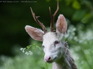 brocard albinos, camouflage pas top