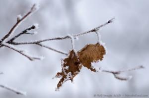 Feuilles survivantes en hiver