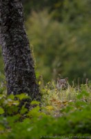 Chat sauvage, felis silvestris