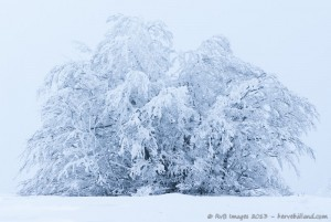 Arbre ployant sous la neige