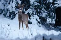 Chevreuil dont le museau est recouvert de neige