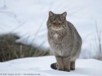 chat sauvage, felis silvestris silvestris