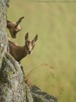 Jeunes chamois sur falaise rocheuse