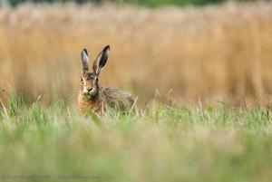 Lièvre, un camouflage sérieux