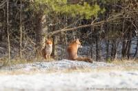 couple de renards roux, vulpes vulpes