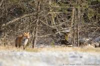 renard roux, vulpes vulpes