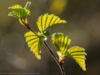 bouleau pubescens, Betula pubescens