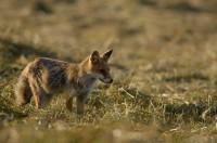 renard, vulpes vulpes