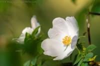 rose des champs, rosa avensis huds.
