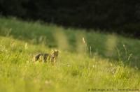 Chat Forestier, Felis silvestris silvestris