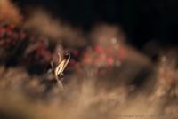 Chamois, Rupicapra rupîcapra : Nikon D7000, Sigma 500mm, 1/1000, f/4.5, iso 250 : Le repos du guerrier, sur fond de quelques sorbes...