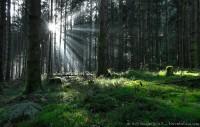 Lumière filtrée par les épicéas : Sony HX5V, 1/50, f/3.5, iso 400 : Percée lumineuse dans les épicéas