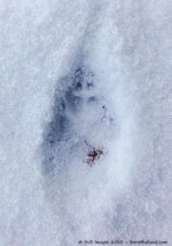 Empreinte de renard, vulpes vulpes