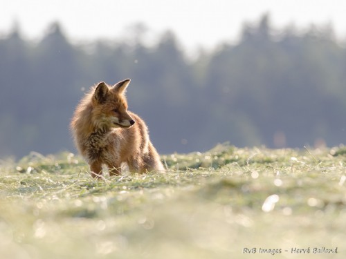 Renard roux, vulpes vulpes : Olympus E-M1 ; Olympus 40-150 f/2.8 ; 1/640 ; f/2.8 ; iso 320