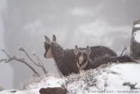 Jeunes chamois dans le blizzard