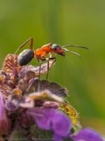 fourmi rousse des bois, formica rufa