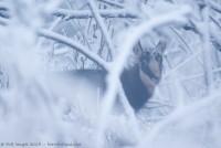 Chamois, Rupicapra rupicapra : Nikon D7000, Sigma 500mm, 1/50, f/4.5, iso 800 : L'hiver s'est invitée brutalement