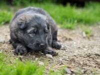 Altdeutsher Schäferhund, berger allemand ancien type, Olympus OM-D E-M1, 45mm f/1.8, 1/100, f/2.8, iso 320